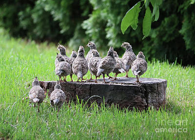 Photograph - Many Baby Quail On Stump by Carol Groenen