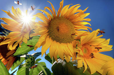Photograph - Many Bees Flying Around Sunflowers by William Freebilly photography