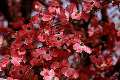 Photograph - Many Dogwoods by Lynn Hopwood