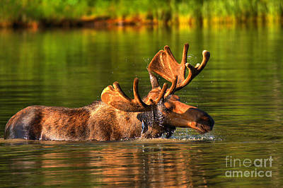 Moose In Water Photograph - Many Glacier Moose In The Morning by Adam Jewell