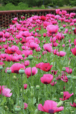 Photograph - Many Pink Poppies by Carol Groenen