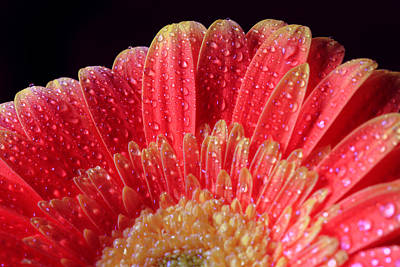 Photograph - Many Water Drops On Daisy by Angela Murdock