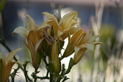 Tender Photograph - Many Yellow Flowers by M Valeriano