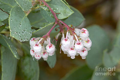 Amador County Photograph - Manzanita Flowers by Inga Spence