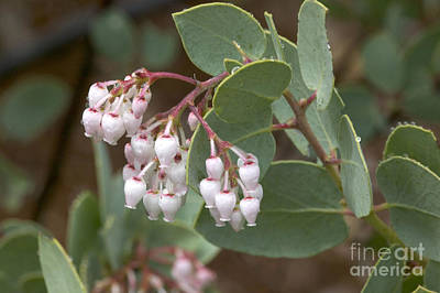 Amador County Photograph - Manzanita Plant Flowering by Inga Spence