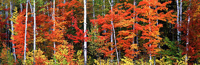 Lush Foliage Photograph - Maple And Birch Trees In A Forest by Panoramic Images