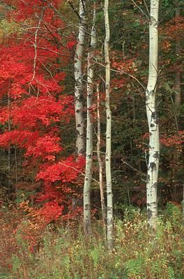 Maple And The Birch Art Print by Raju Alagawadi