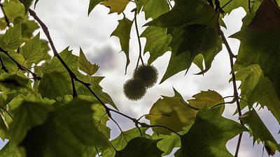 Photograph - Maple Balls And Leaf Against Sunlight by Jacek Wojnarowski