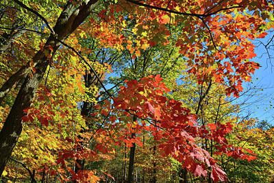 Photograph - Maple Color Along Des Plaines River by Ray Mathis