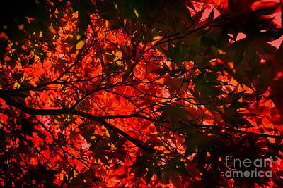 Photograph - Maple Dance In Red by Paul Cammarata