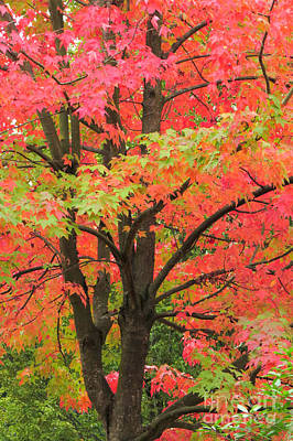 Photograph - Maple Delight by Frank Townsley