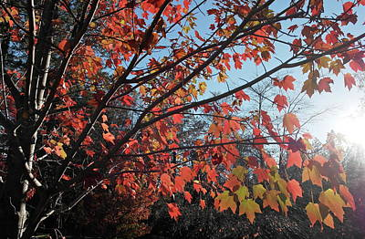 Photograph - Maple Evening Illuminations by Michele Myers