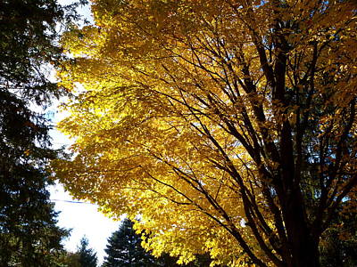 Silhouette Photograph - Maple In The October Sun by Abstract Angel Artist Stephen K
