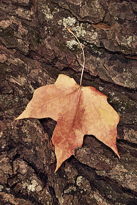 Photograph - Maple Leaf And Bark by Leda Robertson