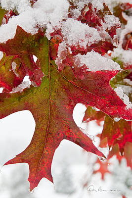Best Sellers - Dan Beauvais Royalty-Free and Rights-Managed Images - Maple Leaf and Snow 7467 by Dan Beauvais