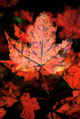 Photograph - Maple Leaf by Chrystal Mimbs