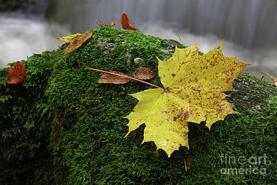 Photograph - Maple Leaf On Boulder Covered With Moss by Michal Boubin