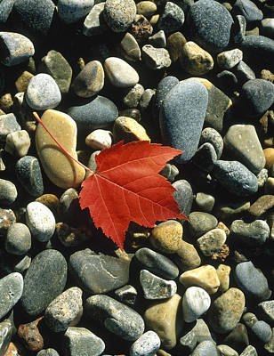 Leaves Changing Photograph - Maple Leaf On Pebbles by Panoramic Images
