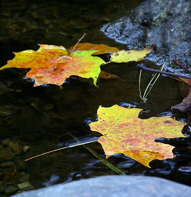 Maple Leaf Art Print by Sean Shaw