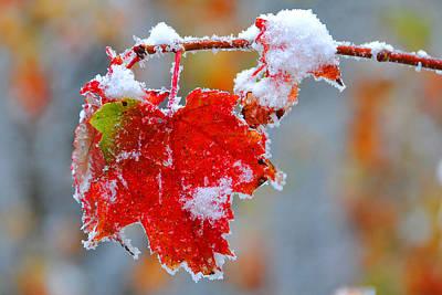 Maple Leaf With Snow Original