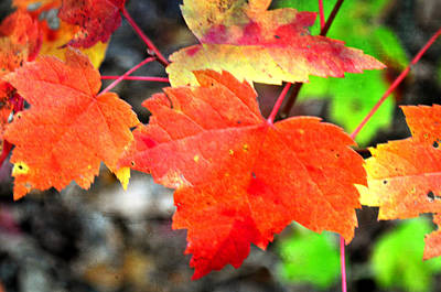 Photograph - Maple Leafs Ablaze by Marty Koch