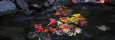 Maple Leaves-0001 Art Print by Sean Shaw