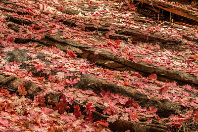 Photograph - Maple Leaves 2 by Teresa Wilson