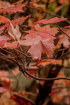 Photograph - Maple Leaves 3 by Teresa Wilson