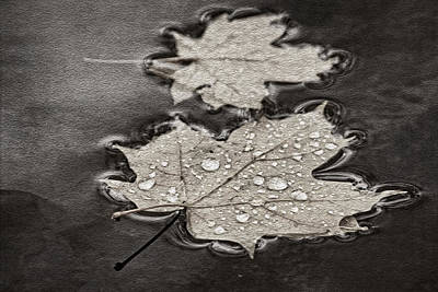 Photograph - Maple Leaves And Drops Bw by Theo O'Connor