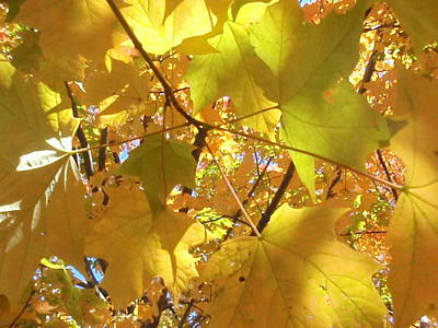 Photograph - Maple Leaves by Beth Akerman