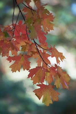 Photograph - Maple Leaves Branch  by Saija Lehtonen