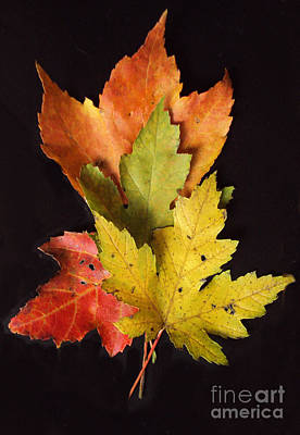 Photograph - Maple Leaves by Diane Ursin