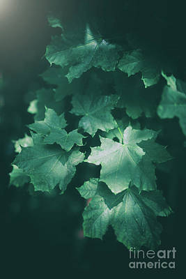 Photograph - Maple Leaves In A Foliage With Sunlight. by Michal Bednarek
