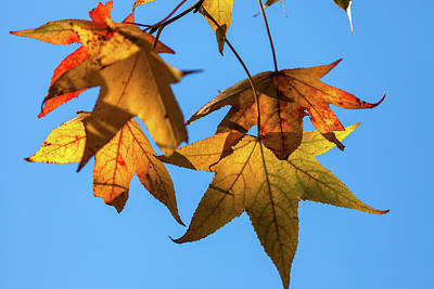 Photograph - Maple Leaves In Autumn by Jonathan Nguyen