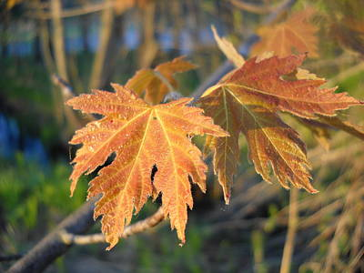 Photograph - Maple Leaves In May Dawn Light by Kent Lorentzen