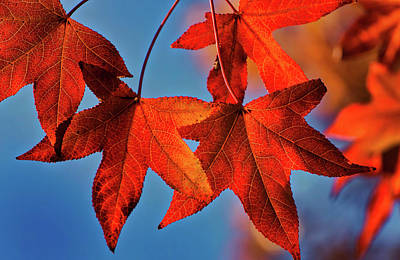 Photograph - Maple Leaves In The Fall by Stephen Anderson