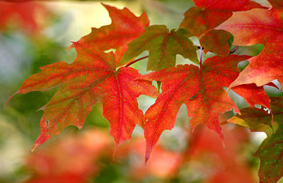 Photograph - Maple Leaves by Living Color Photography Lorraine Lynch
