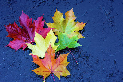 Photograph - Maple Leaves by Nick Mares