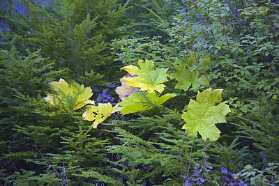 Photograph - Maple Leaves  by Richard J Cassato