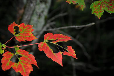 Maple Leaves Art Print by Steven Scott