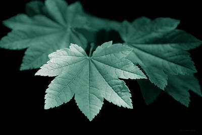 Photograph - Maple Leaves Teal by Jennie Marie Schell