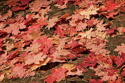 Photograph - Maple Leaves by Teresa Wilson
