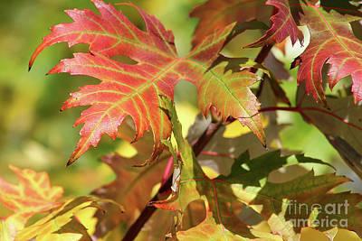 Photograph - Maple Leaves by Teresa Zieba