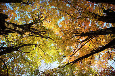 Photograph - Maple Limbs Reaching by Alana Ranney