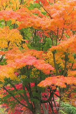 Photograph - Maple Magic by Frank Townsley