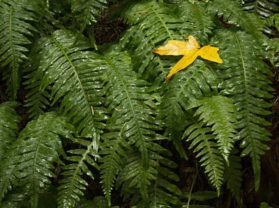 Pteridophyte Photograph - Maple On Fern by Jean Noren