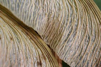 Maple Seed 202 Art Print