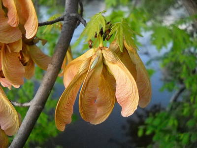 Photograph - Maple Seeds In May by Kent Lorentzen