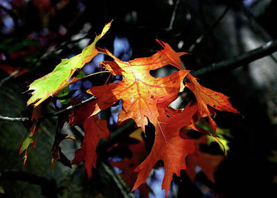 Photograph - Maple Spirit by Nicholas Blackwell