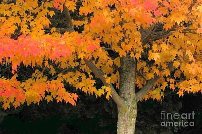 Photograph - Maple Standout by Frank Townsley